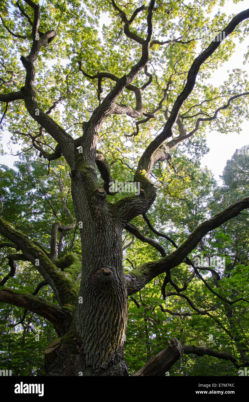 Old mighty oak tree in a green forest - Stock Image