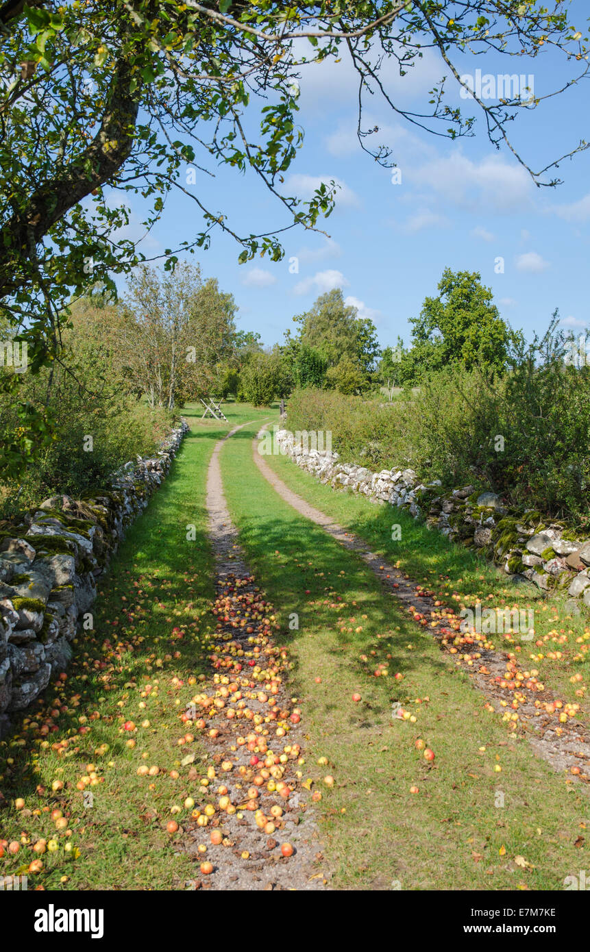 Fallen apples at a country road surrounded of stonewalls - Stock Image