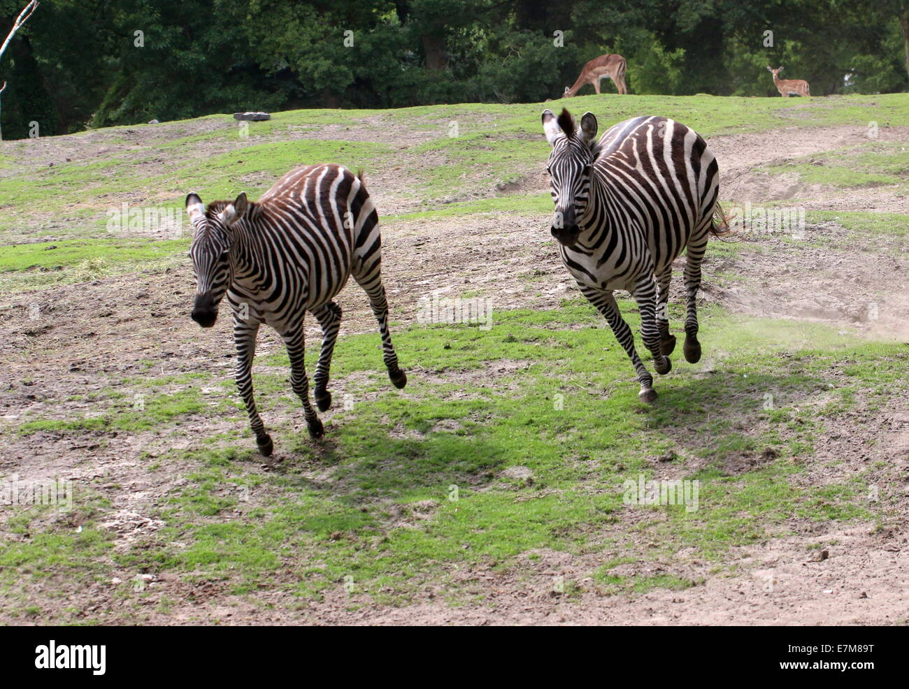 Two fast running & spirited  Grant's zebras (Equus quagga boehmi) chasing each other - Stock Image