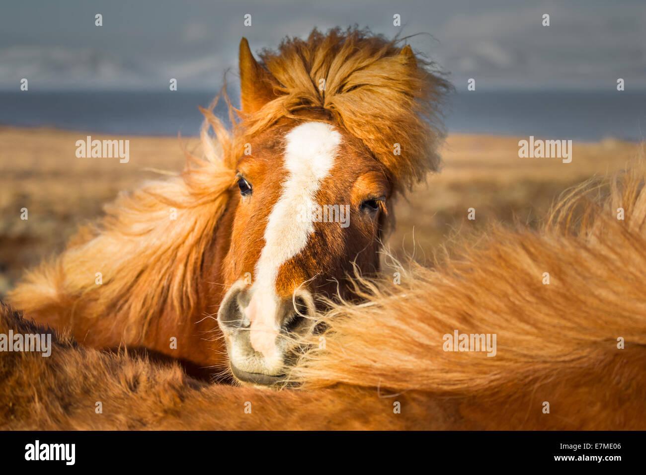 Brown Icelandic horse (Equus ferus caballus) frontal view with manes. - Stock Image