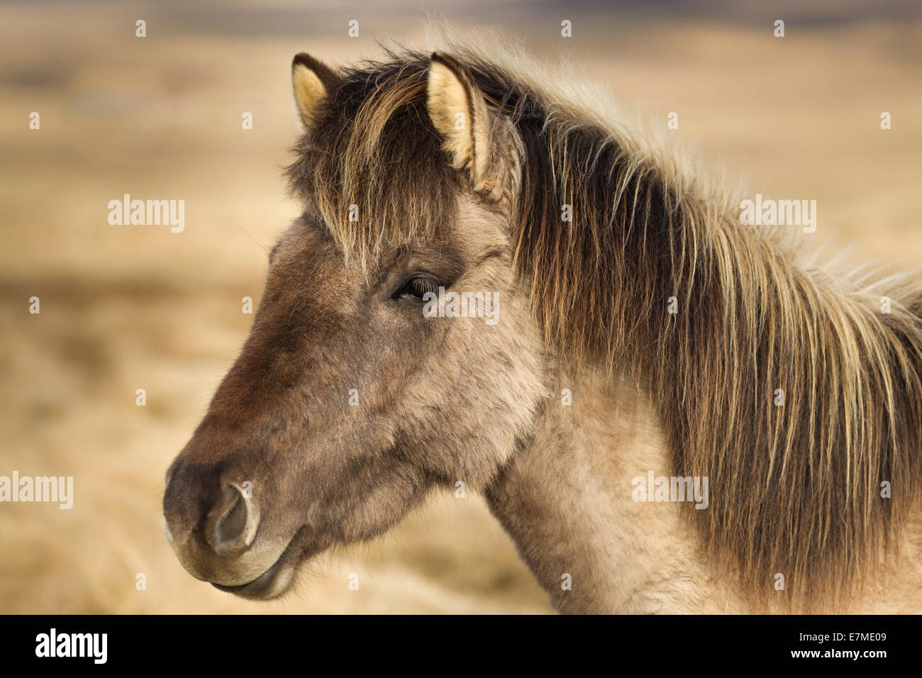 Sideview headshot portrait of an Icelandic horse (Equus ferus caballus) on the Vatnsnes peninsula, northern Iceland. - Stock Image