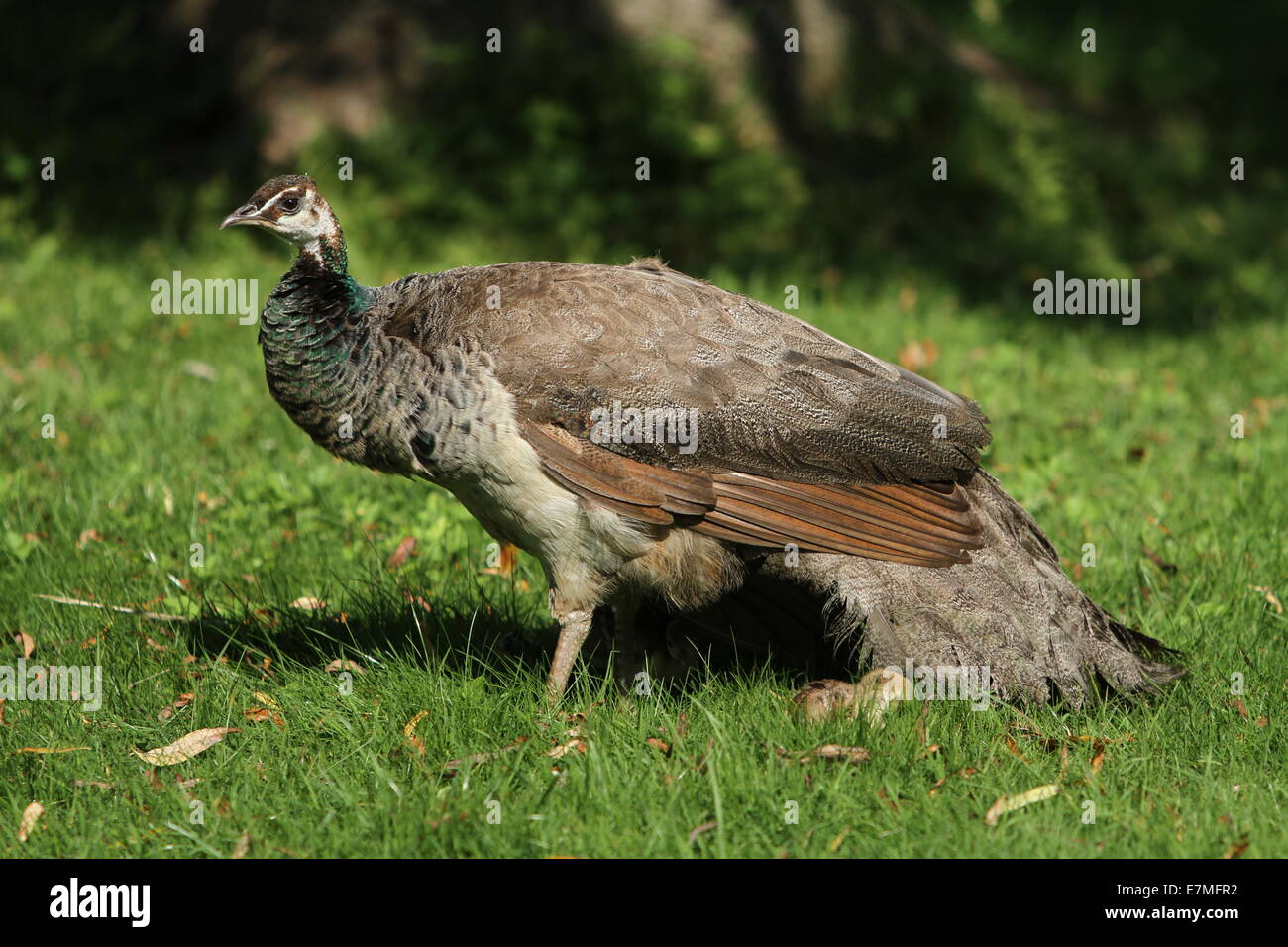Peahen her and chicks Stock Photo