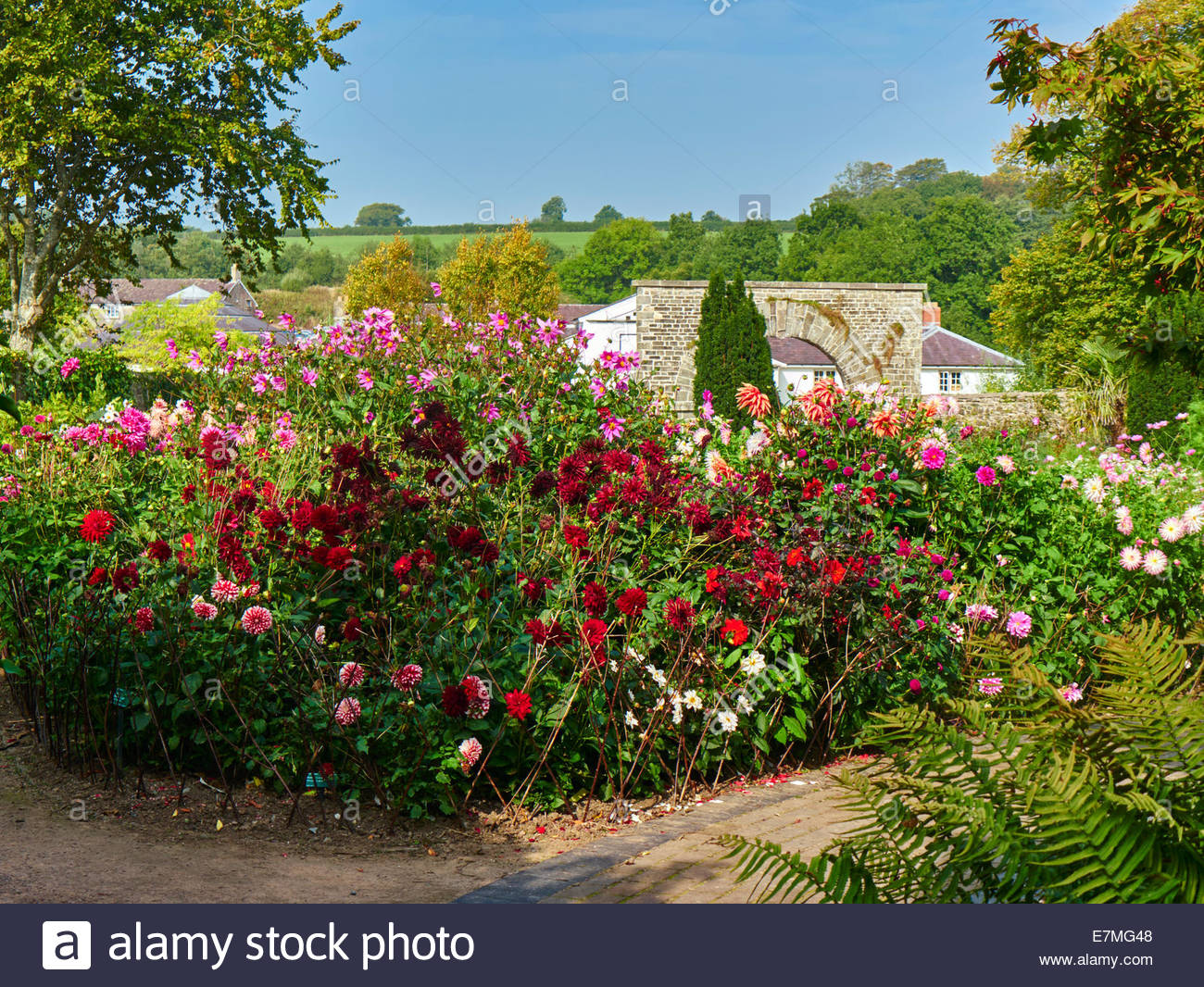 Dahlia Flower Bed In The National Botanic Garden Of Wales Stock Photo Alamy
