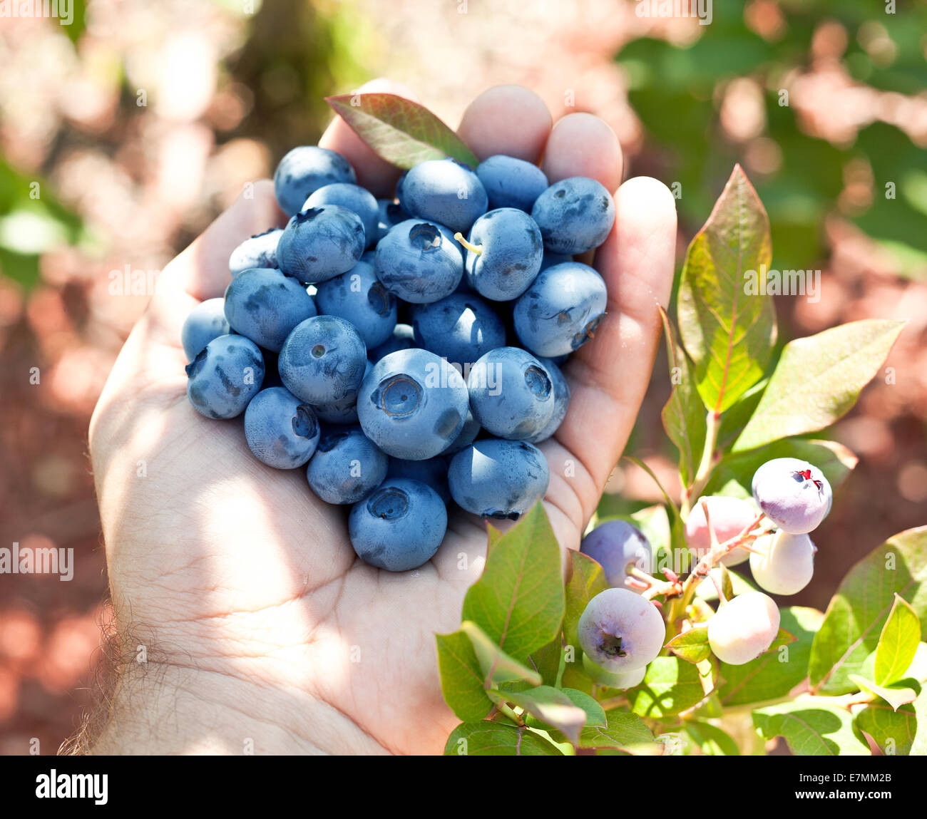 Blueberries in the man's hands. Green shrubs on the background. - Stock Image