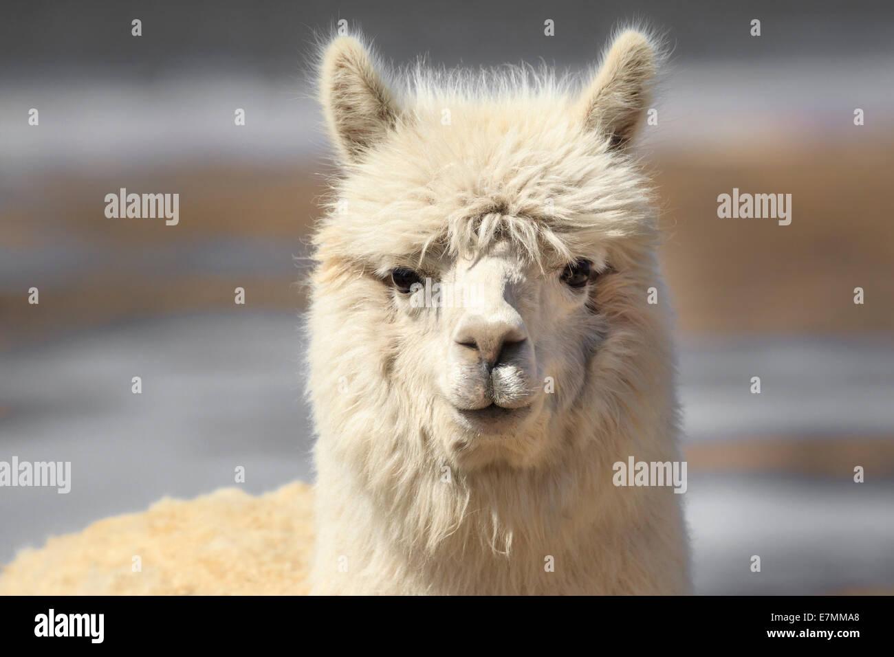 Chile, El Norte Grande, Region de Arica y Parinacota, Lauca National Park, llama (Lama glama) - Stock Image
