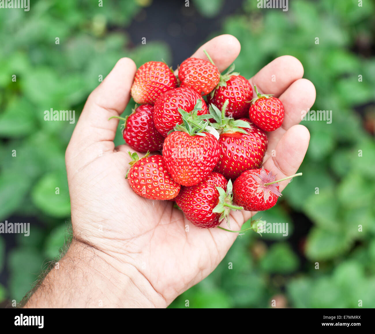 Strawberry fruits in a man's hands. Green leaves on the background. - Stock Image