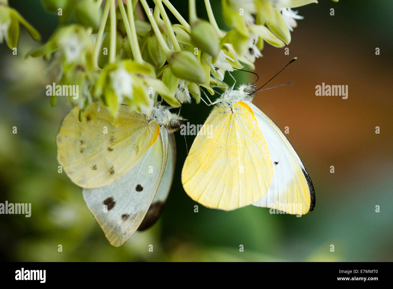 A Madagascar Migrant butterfly feeding - Stock Image