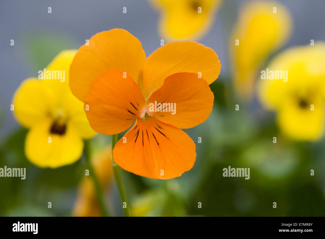 Viola 'Touch of Gold'. - Stock Image