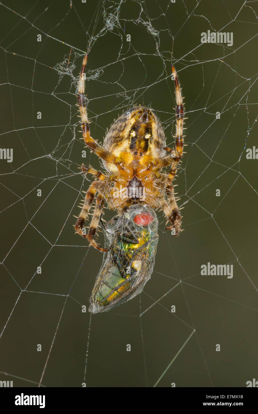 A Garden Spider (Araneus diadematus) feasts on a freshly trapped Green Bottle fly (Lucilla ceasar) - Stock Image