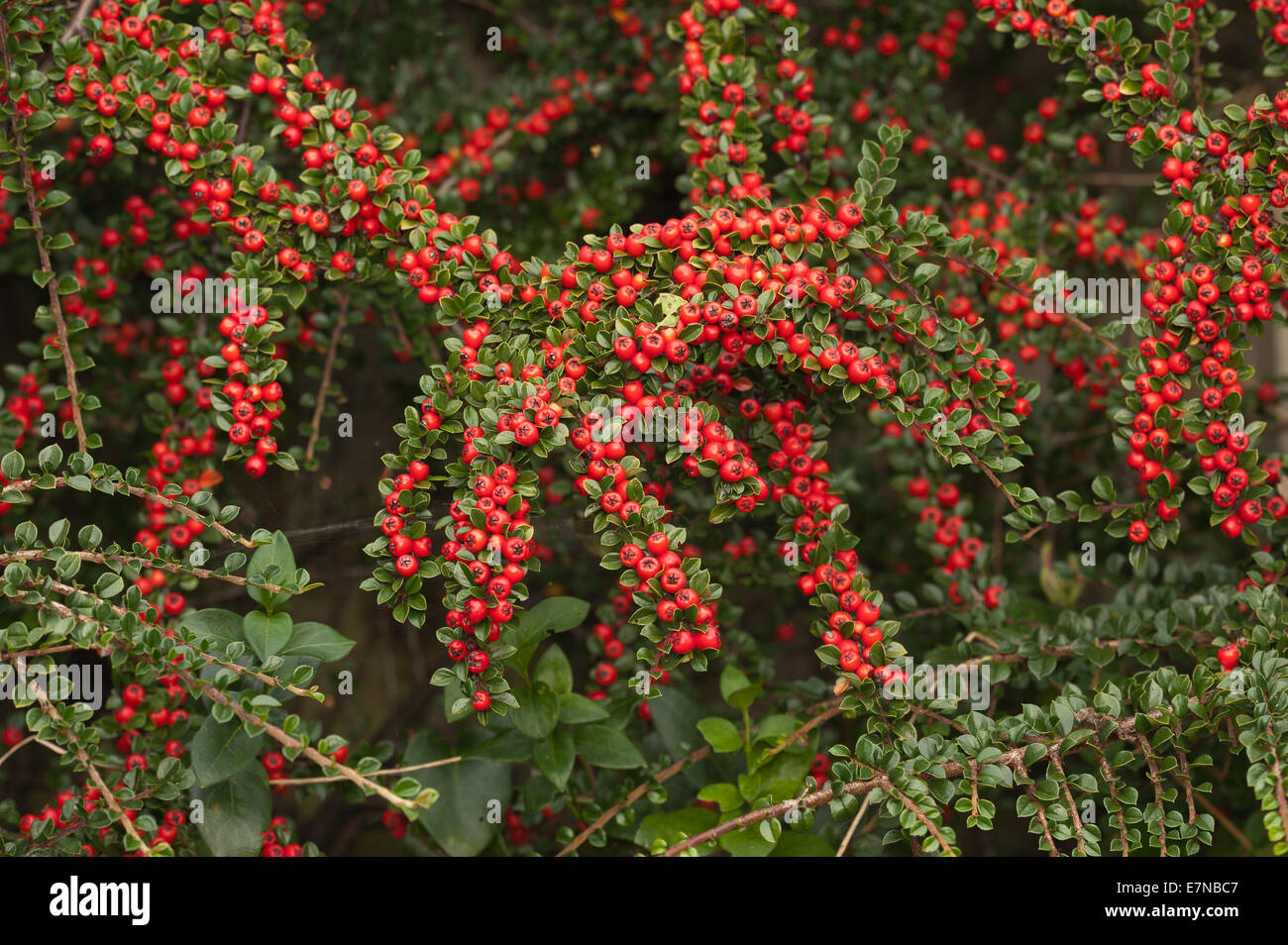 Abundant Line Lines Of Red Berries Cottoneaster Shrub A Great Food
