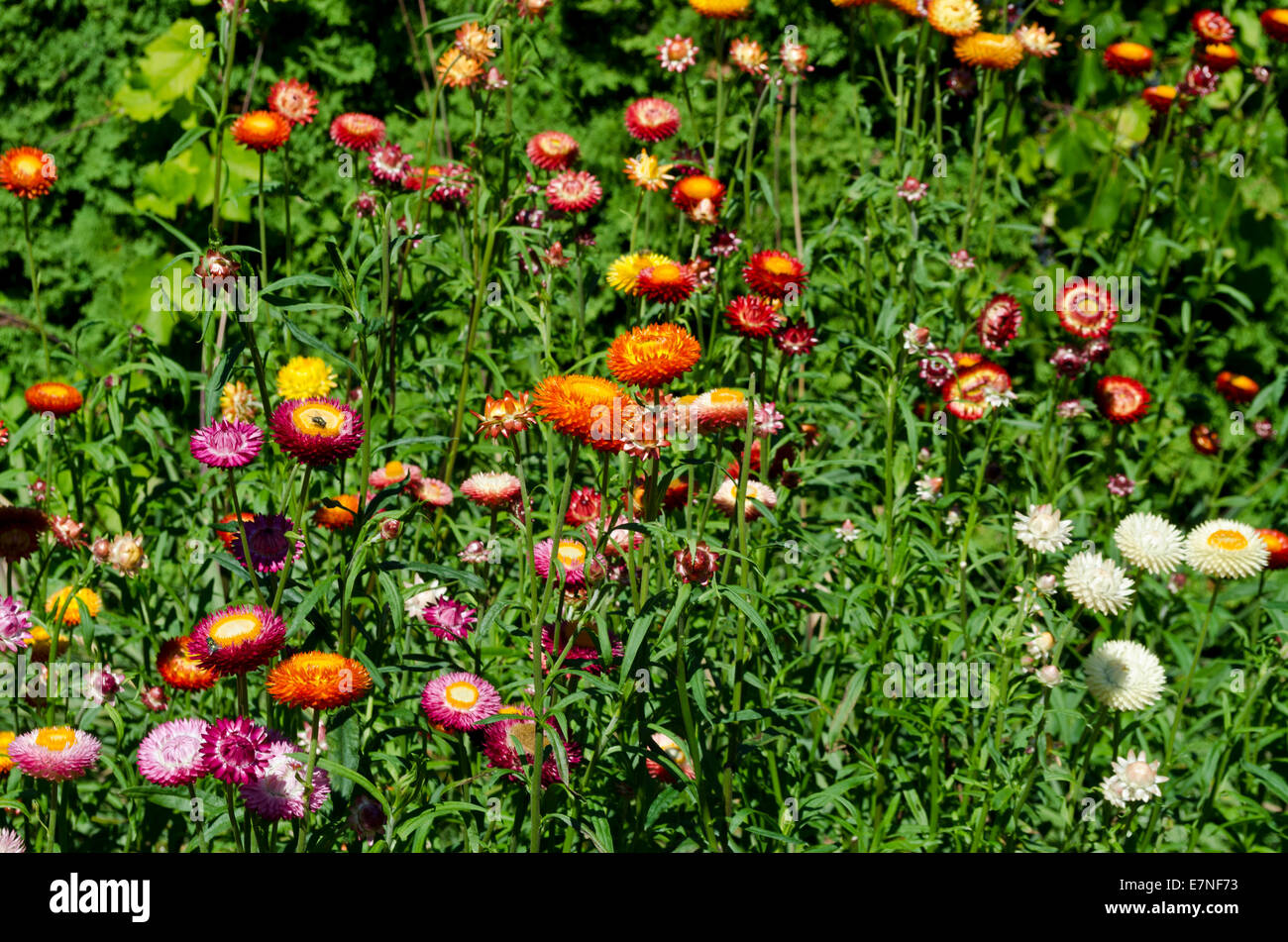 Everlasting Flowers Stock Photos Everlasting Flowers Stock Images