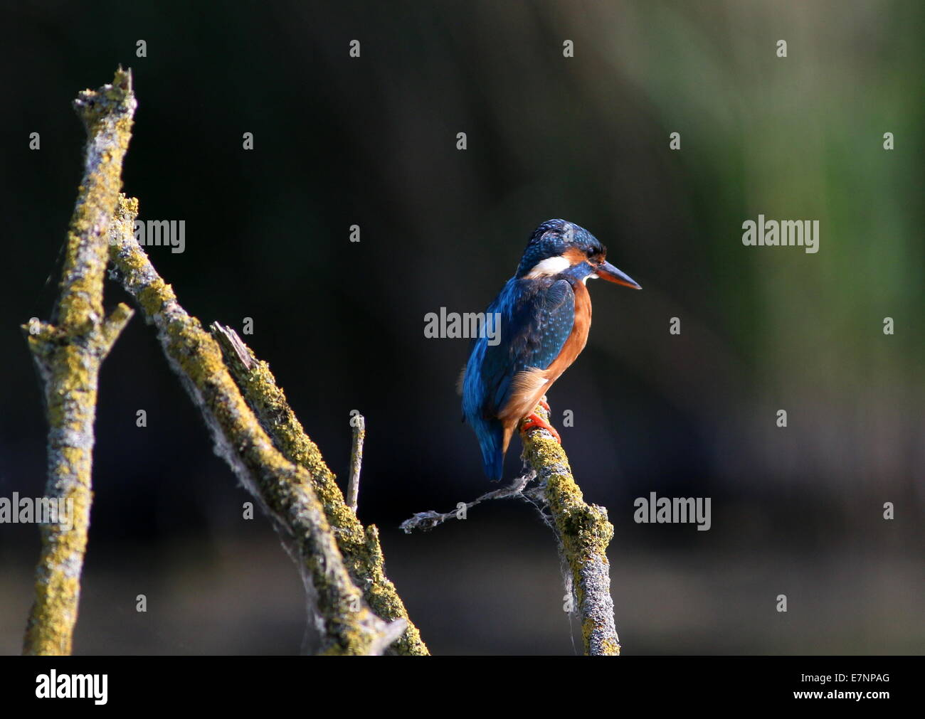Eurasian Kingfisher (Alcedo Atthis) posing on a branch above the water - Stock Image