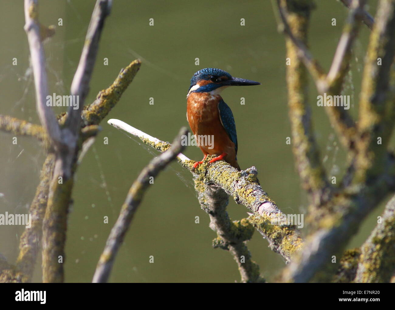 Female Eurasian Kingfisher (Alcedo Atthis) posing among a jumble of  branches while fishing - Stock Image