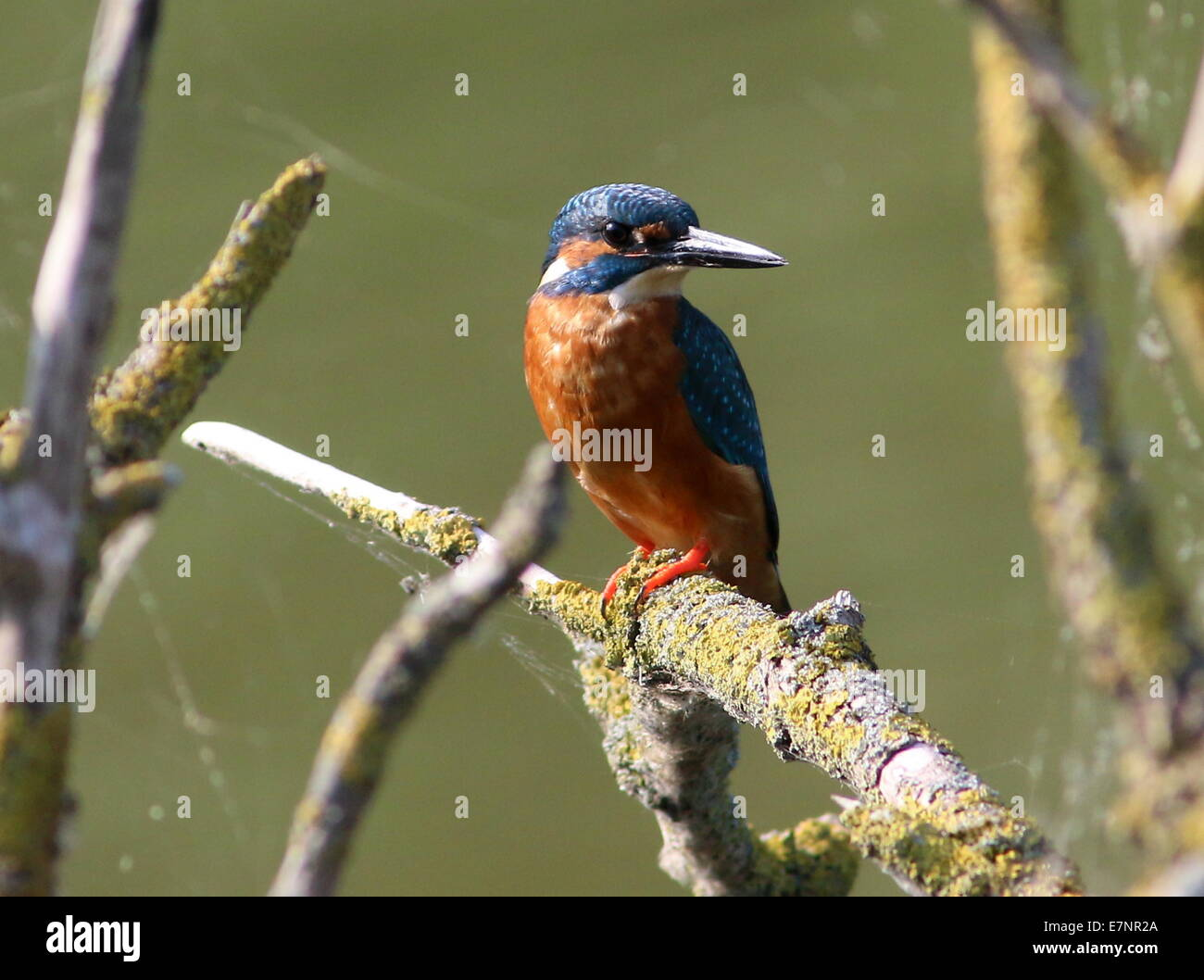 Female Eurasian Kingfisher (Alcedo Atthis) posing among a jumble of  branches - Stock Image