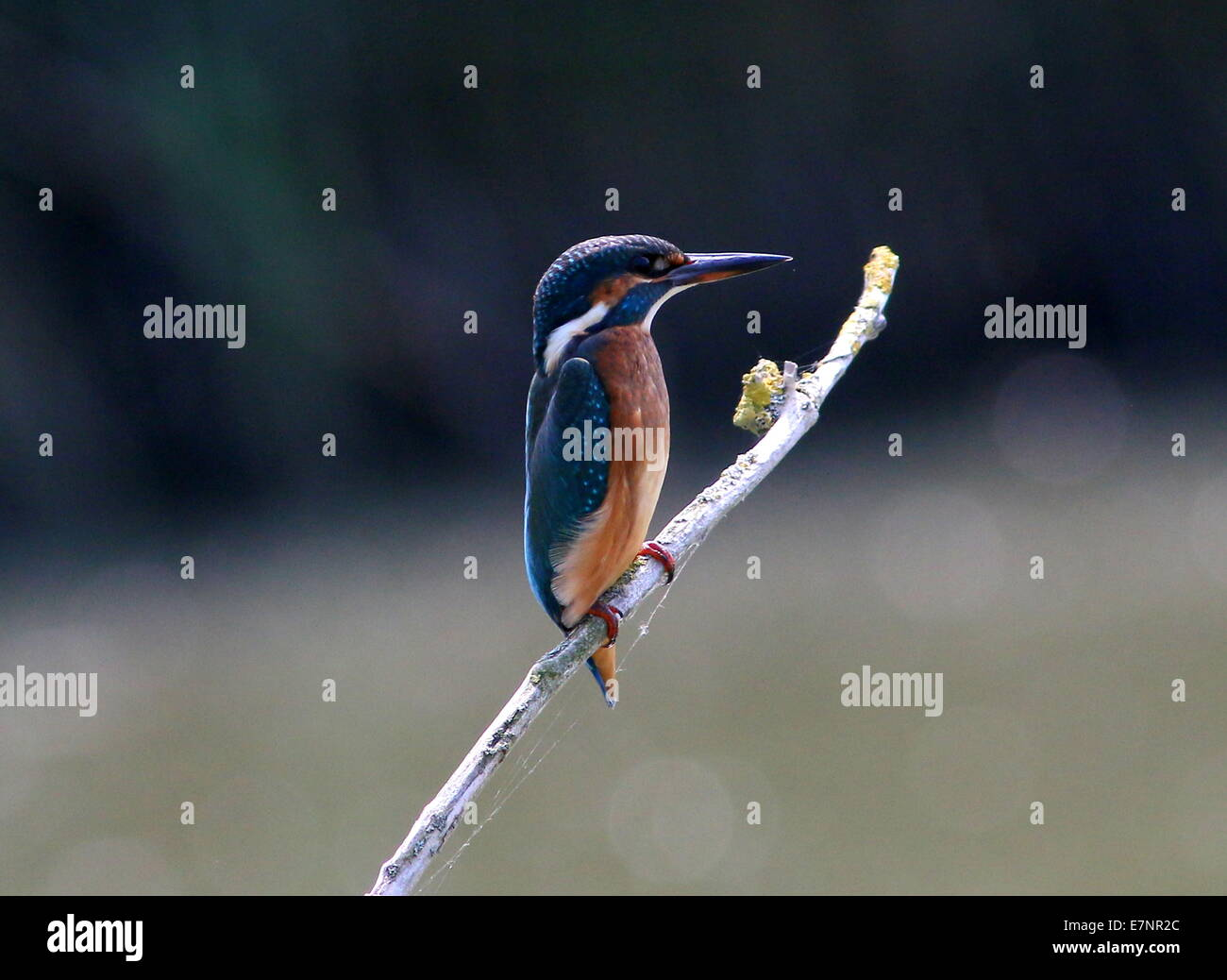 Female Eurasian Kingfisher (Alcedo Atthis) in profile on a twig - Stock Image