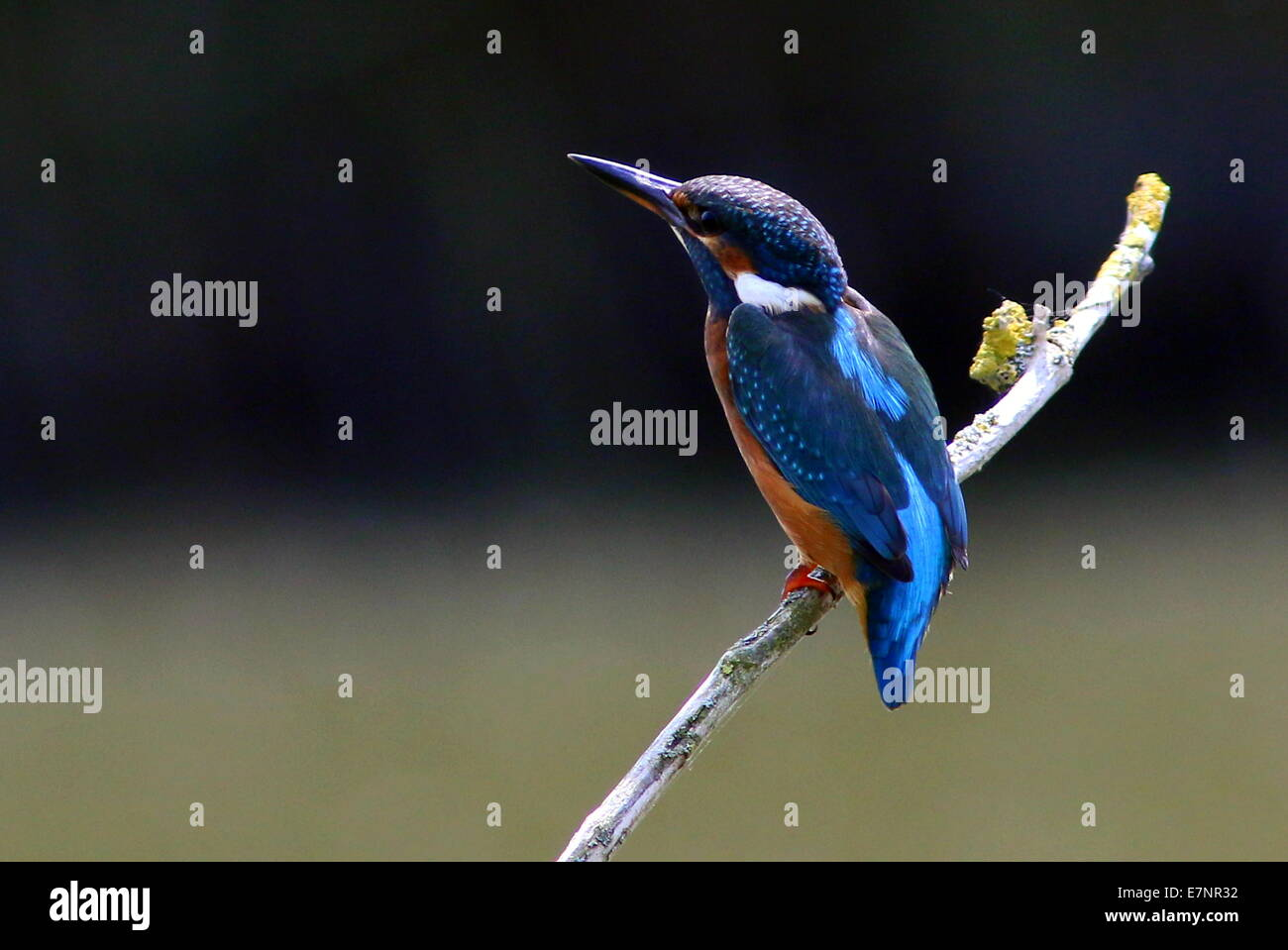Female Eurasian Kingfisher (Alcedo Atthis) on a branch - Stock Image