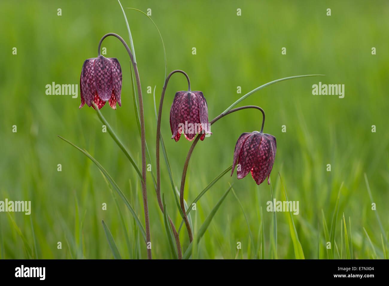Nature, Flower, fritillary, snake's head guinea-hen flower, chess flower, Plantae, Liliales, Fritillaria meleagris, Stock Photo