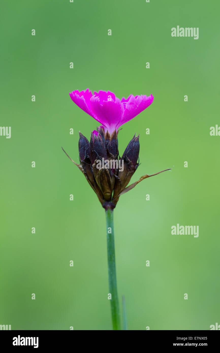 Nature, Flower, Caryophyllaceae, Plantae, Carthusian Pink, Dianthus carthusianorum, Switzerland - Stock Image