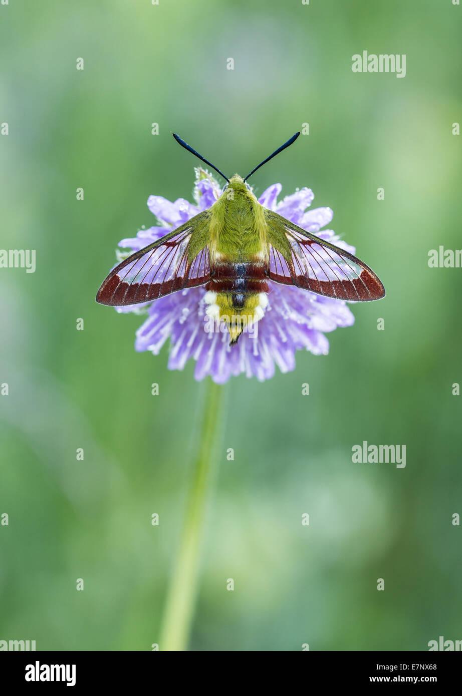 Animal, Insekt, Moth, Hawk Moth, Hemaris fuciformis, Broad-bordered Bee Hawk-moth, Sphingidae, Switzerland - Stock Image