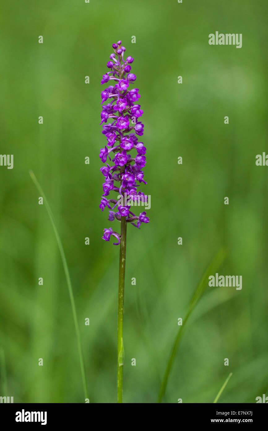 Nature, Flower, Plant, Lila, Violet, Orchidaceae, perennial herbaceous plant, Switzerland - Stock Image