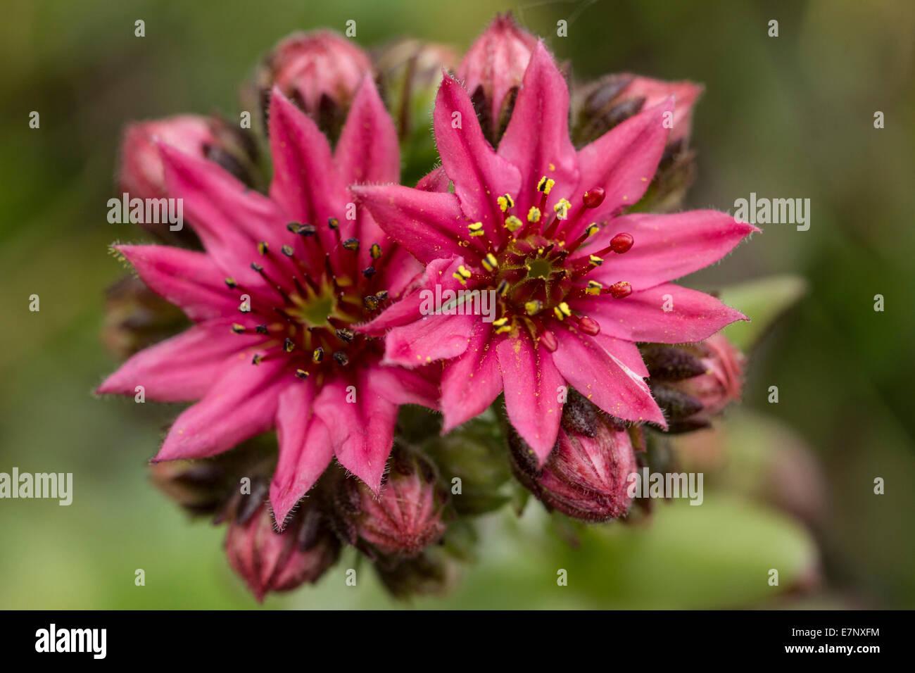 Nature, Plant, Flower, lila, houseleeks, Sepervivum, Crassulaceae, Switzerland - Stock Image