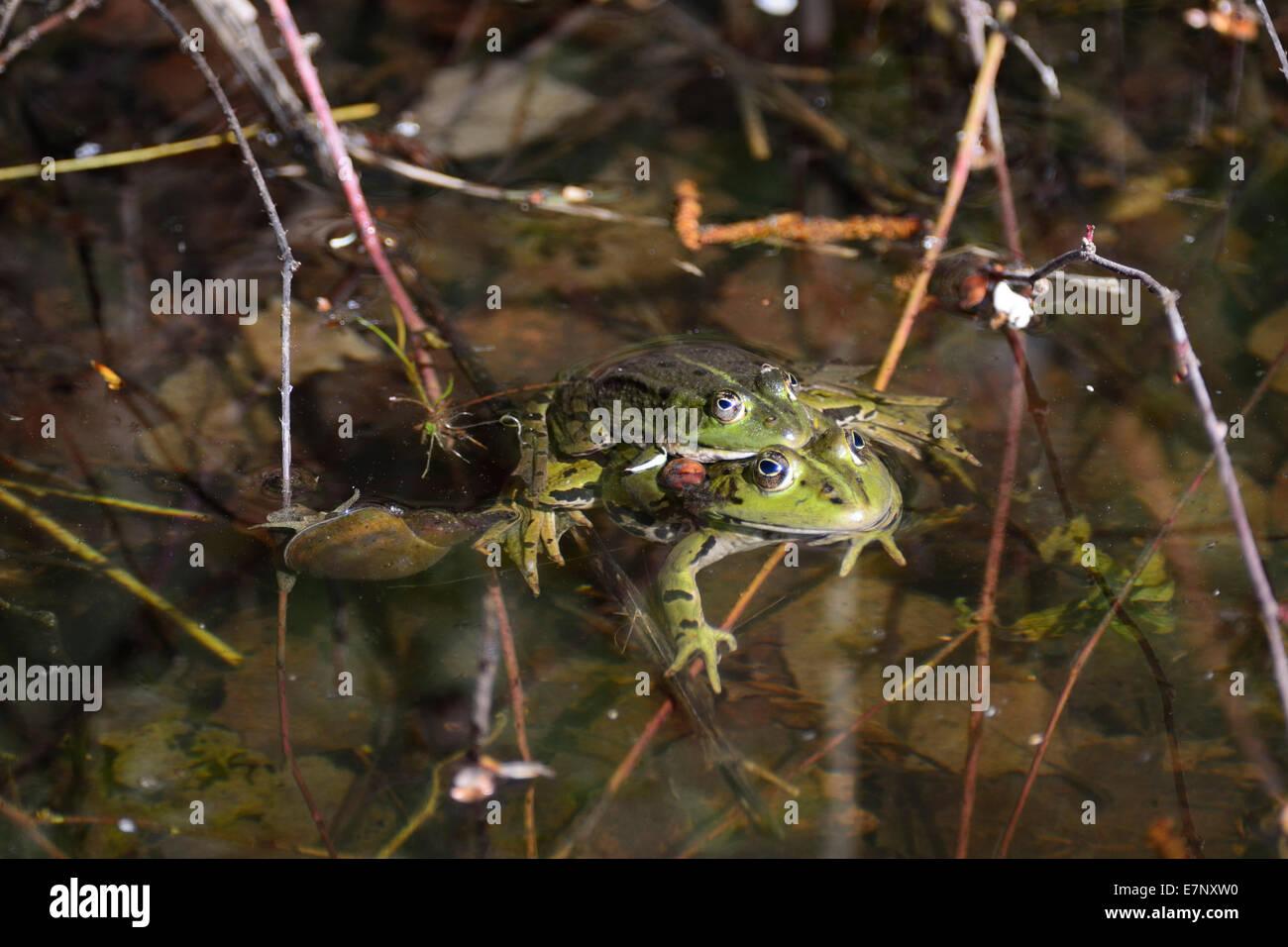 Edible frog, Rana esculenta, Ranidae, frog, amphibious animal, animal, mating, Champ-Pittet, Grande Cariçaie, - Stock Image