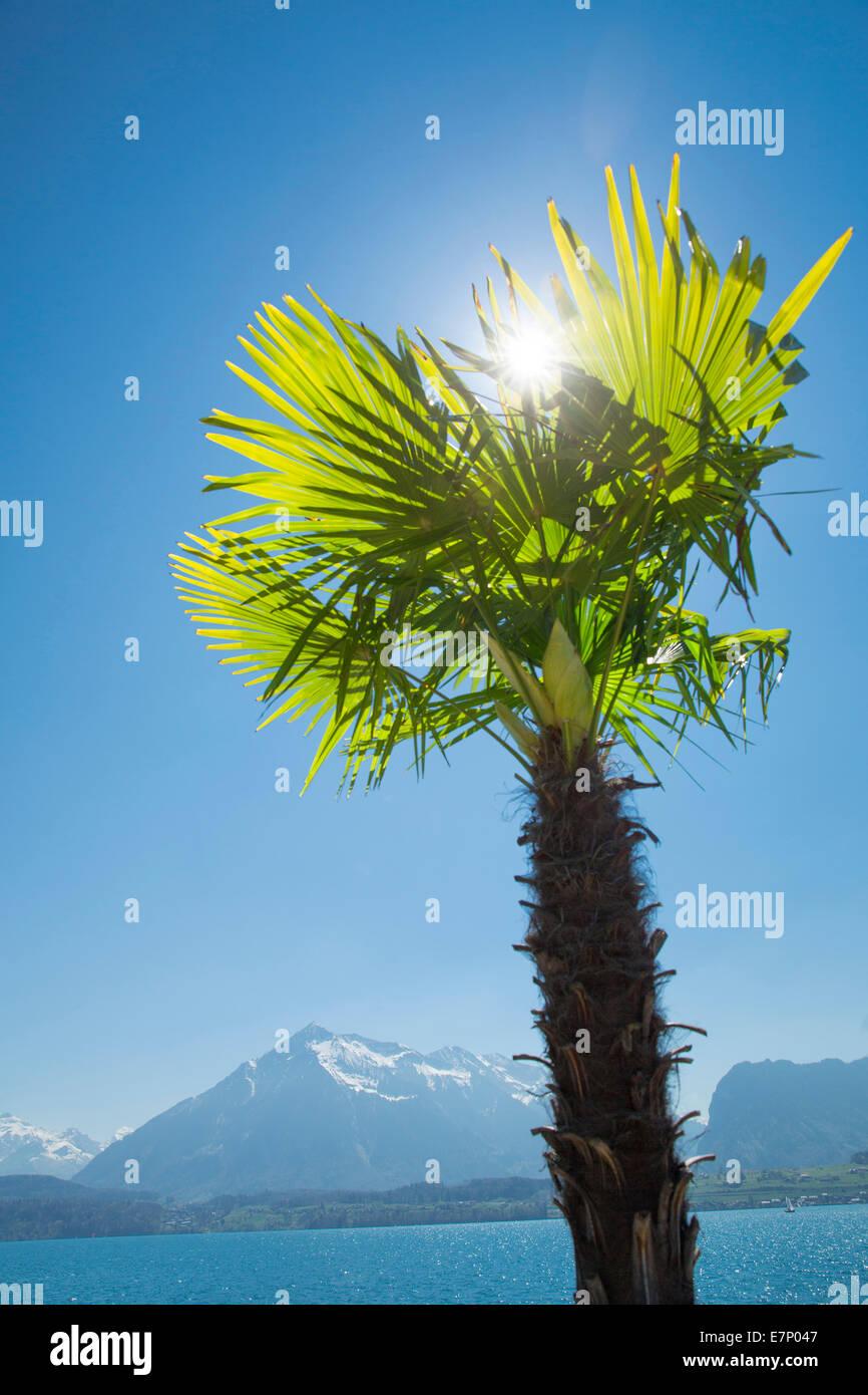 Lake Thun, palm, Lake Thun, spring, canton Bern, lake, lakes, tree, trees, Switzerland, Europe, - Stock Image