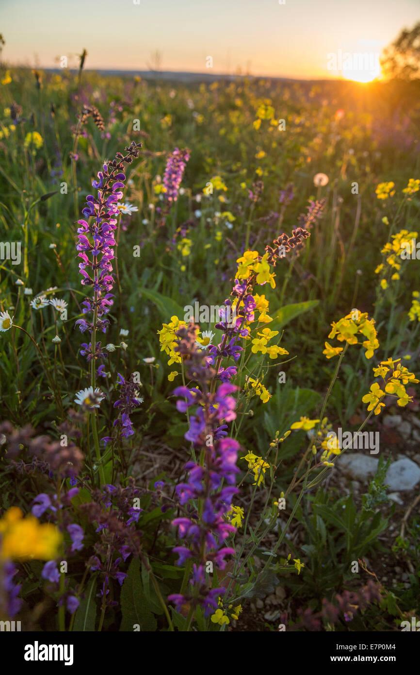 Randen, rough pasture, Beggingen, spring, canton, SH, Schaffhausen, flower, flowers, scenery, landscape, agriculture, - Stock Image