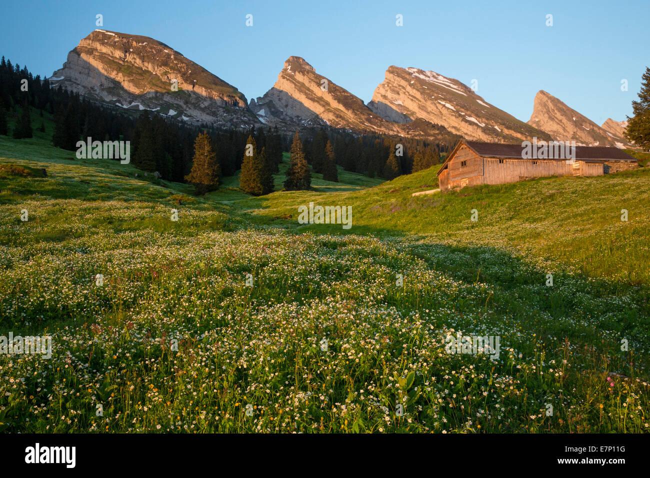 Churfirsten, Alp Sellamatt, Churfirsten, mountain, mountains, flower, flowers, SG, canton St. Gallen, Toggenburg, - Stock Image