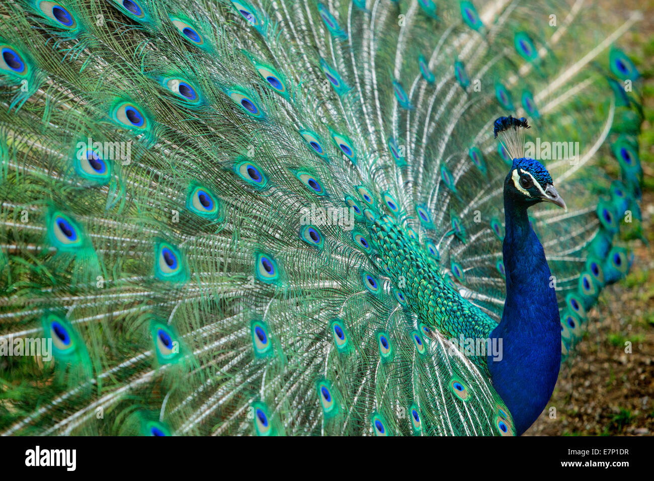 Animals, peacock, zoo Zurich, animals, animal, Zurich, zoo, Switzerland, Europe, - Stock Image