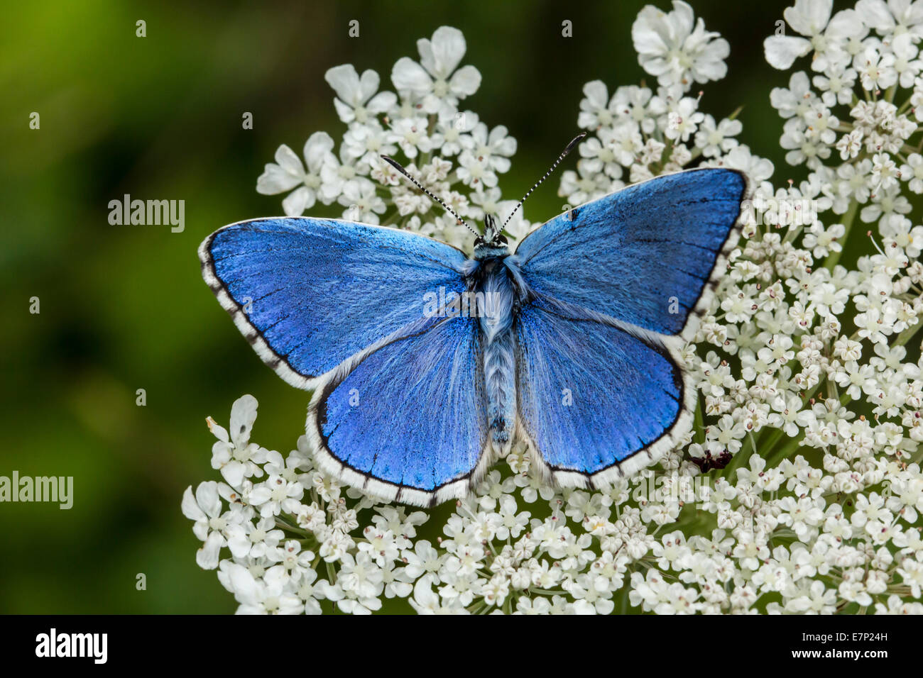 Animal, Insect, Butterfly, Lepidoptera, Arthropoda, Blue, Polyommatus bellargus, Flower, Adonis Blue, White - Stock Image