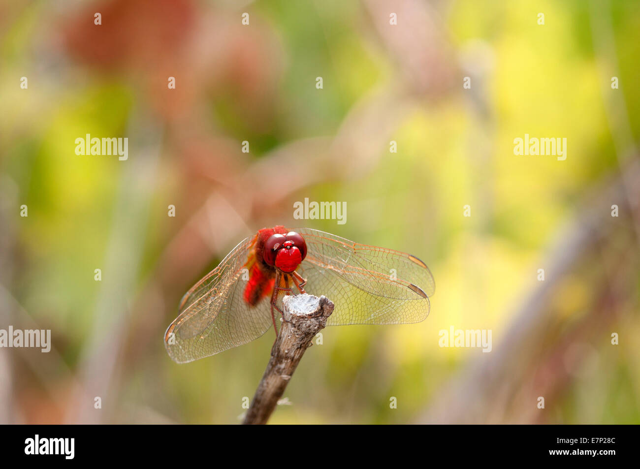 Scarlet Dragonfly, Broad Scarlet, France, Crocothemis erythraea, scarlet darter, insect, dragonfly, red, crocothemis Stock Photo