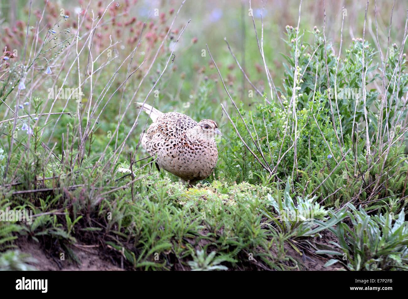Pheasant, common pheasant, gallinaceous birds, Phasianus colchicus mongolicus, partridges, bird, galliforms, pheasants, - Stock Image