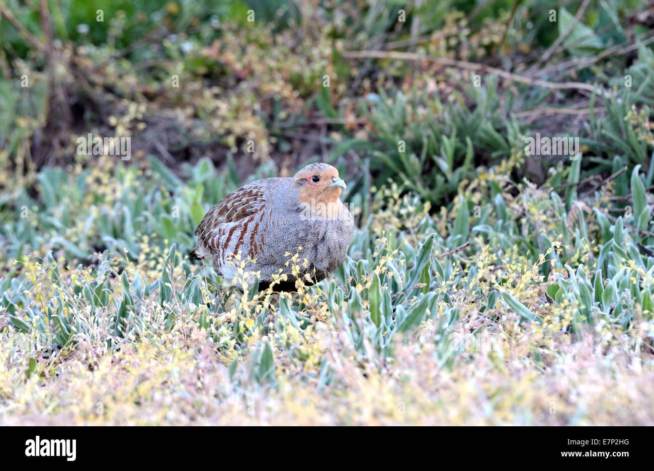 Partridge, Perdix perdix, chickens, hens, gallinaceous bird, wild chickens, bird, Galliformes, partridges, bird, - Stock Image
