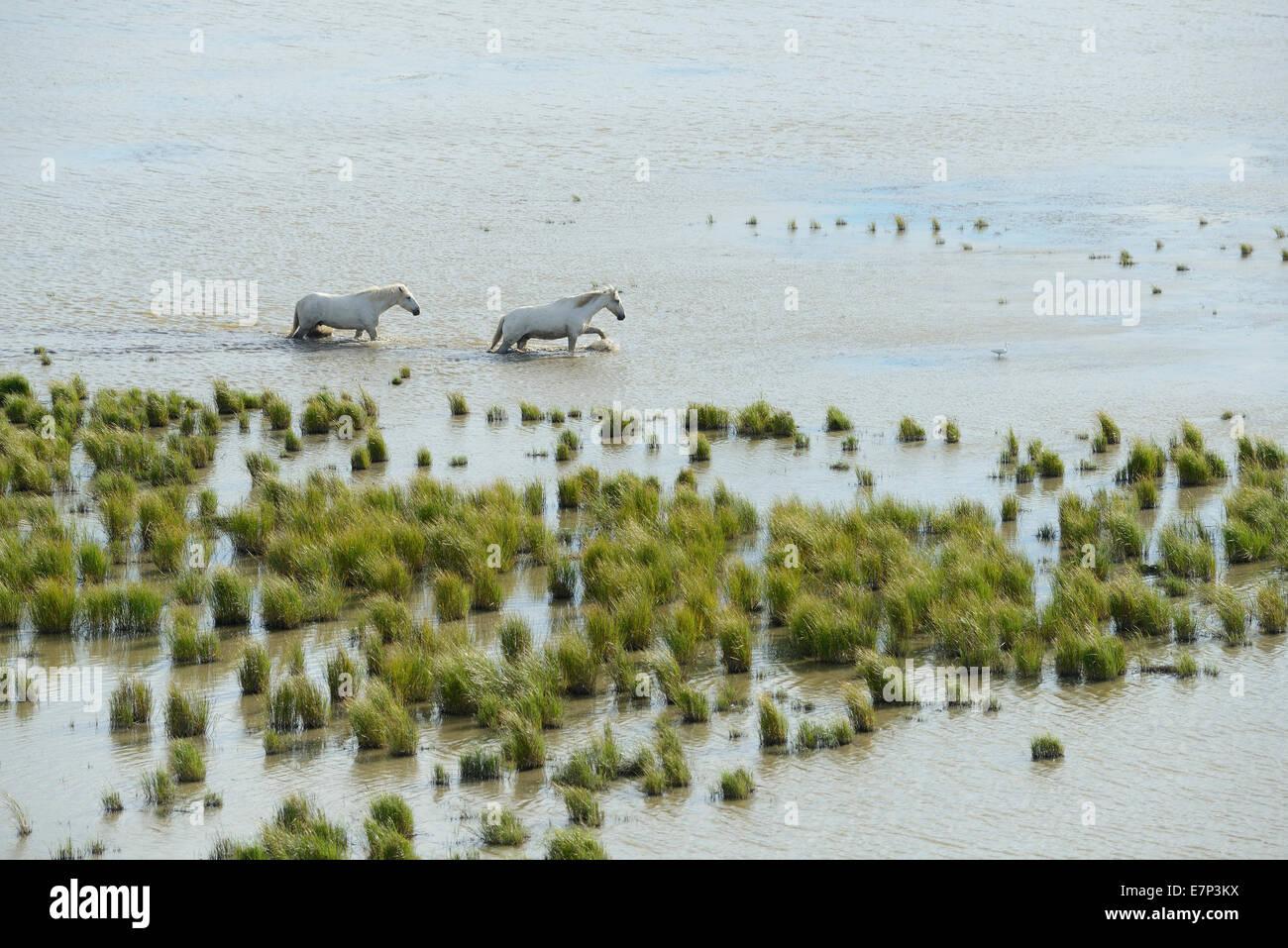 Europe, France, Languedoc- Roussillon, Camargue, wetland, white horses, grey horses, animal, horse, nature, wildlife, - Stock Image
