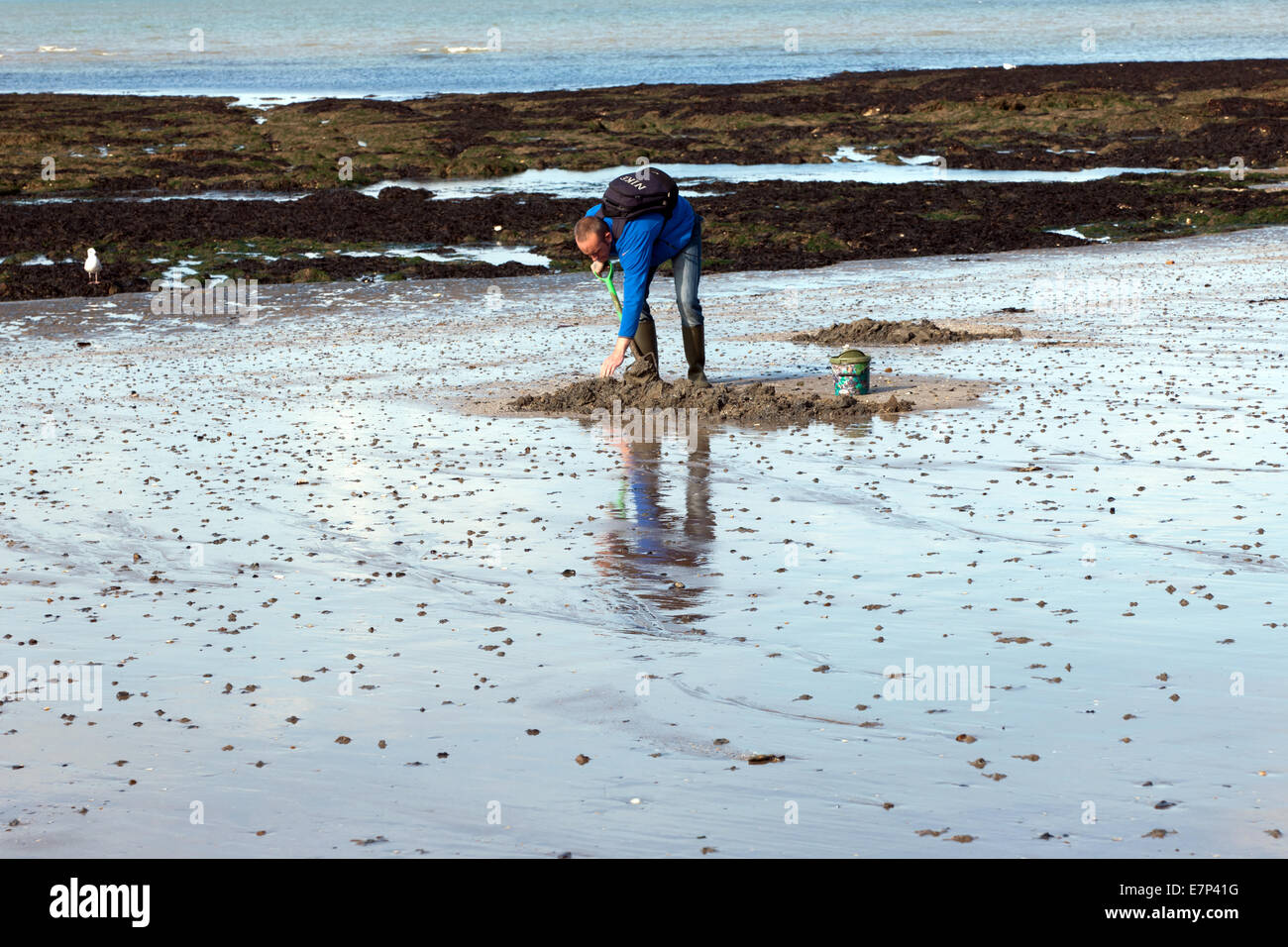 Man digging for lugworms on the beach at Margate, Kent - Stock Image