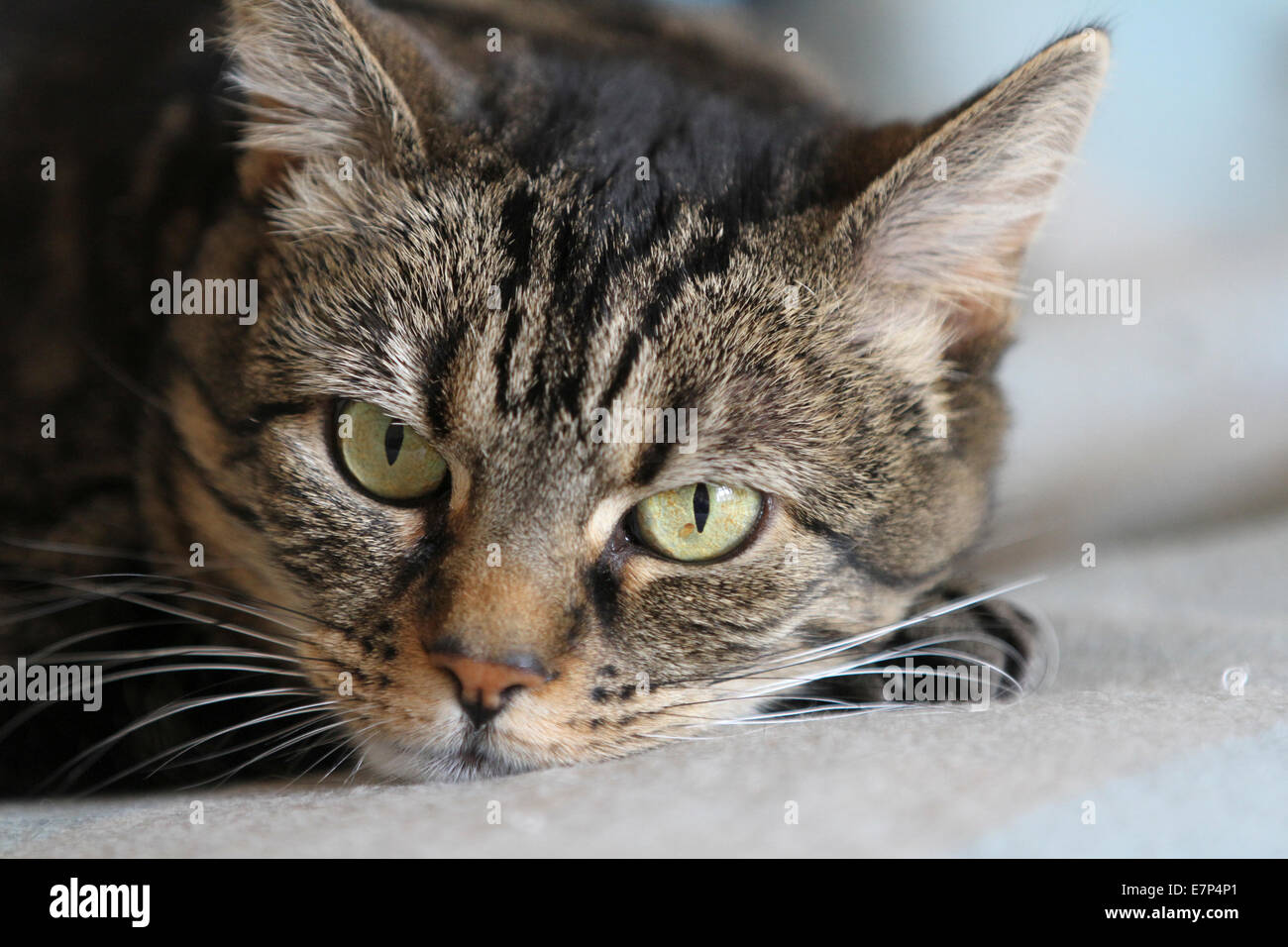 Common mackerel tabby cat close up full face, looking curiously at the viewer - Stock Image