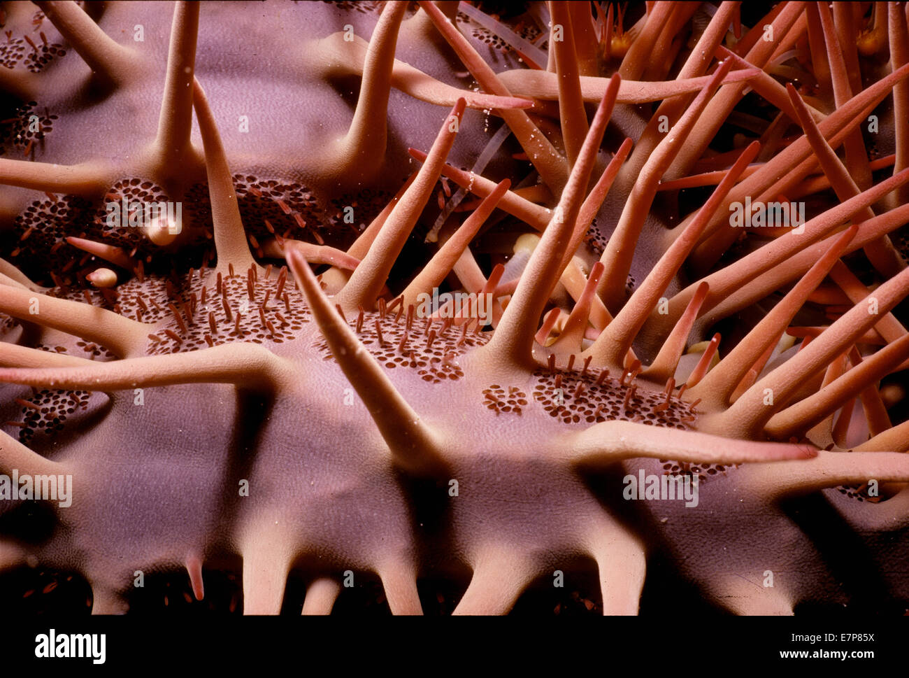 Poisonous spines on Crown of Thorns Sea Star (Acanthaster planci).  Sinai, Egypt, Red Sea - Stock Image