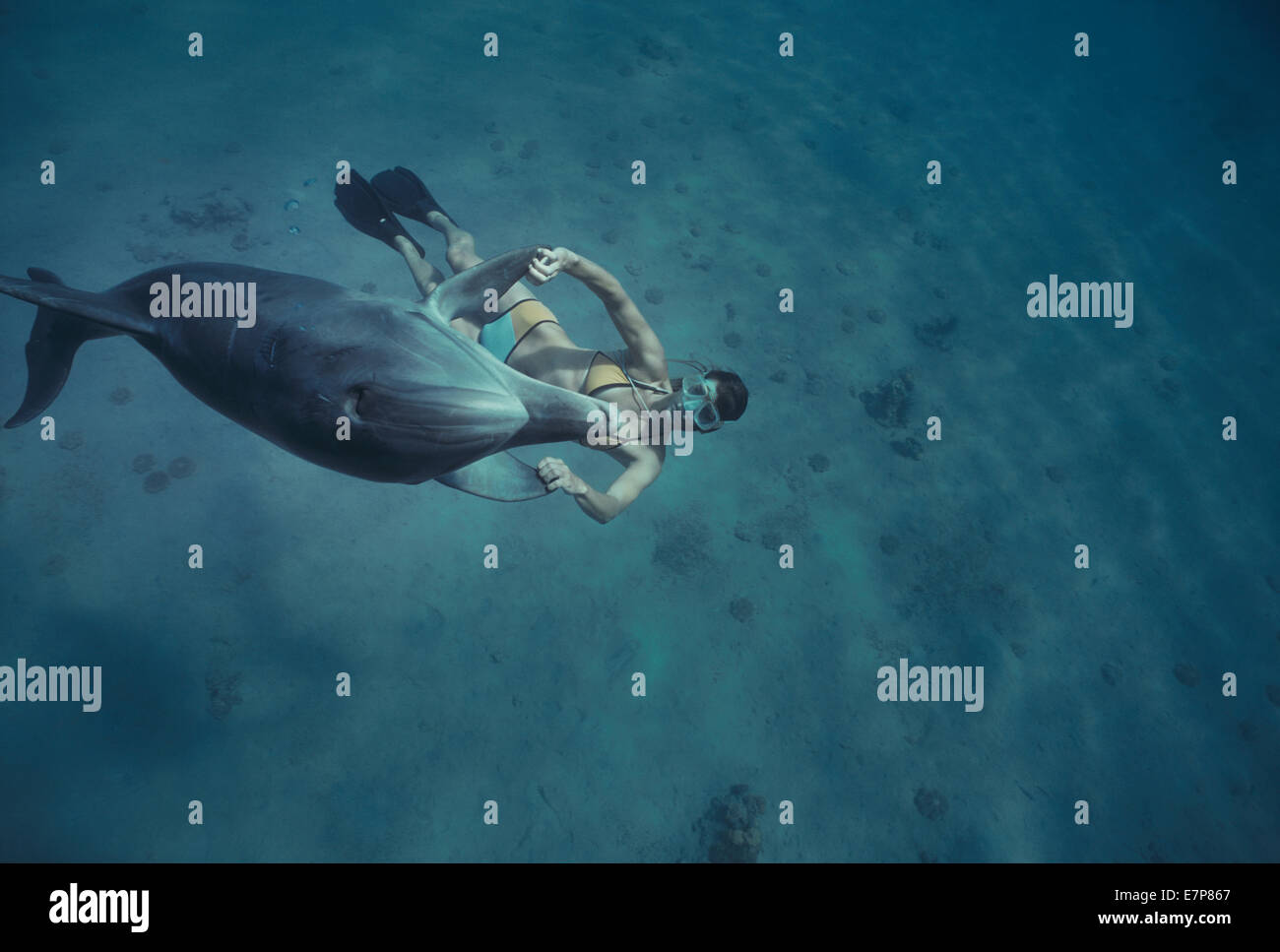 Dolphin trainer  interacts with juvenile bottlenose dolphin (Tursiops truncatus). Dolphin reef, Eilat, Israel, Red - Stock Image