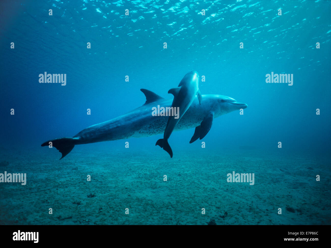 Wild bottlenose dolphins (Tursiops truncatus) mother and calf.  Nuweiba, Egypt, Red Sea - Stock Image