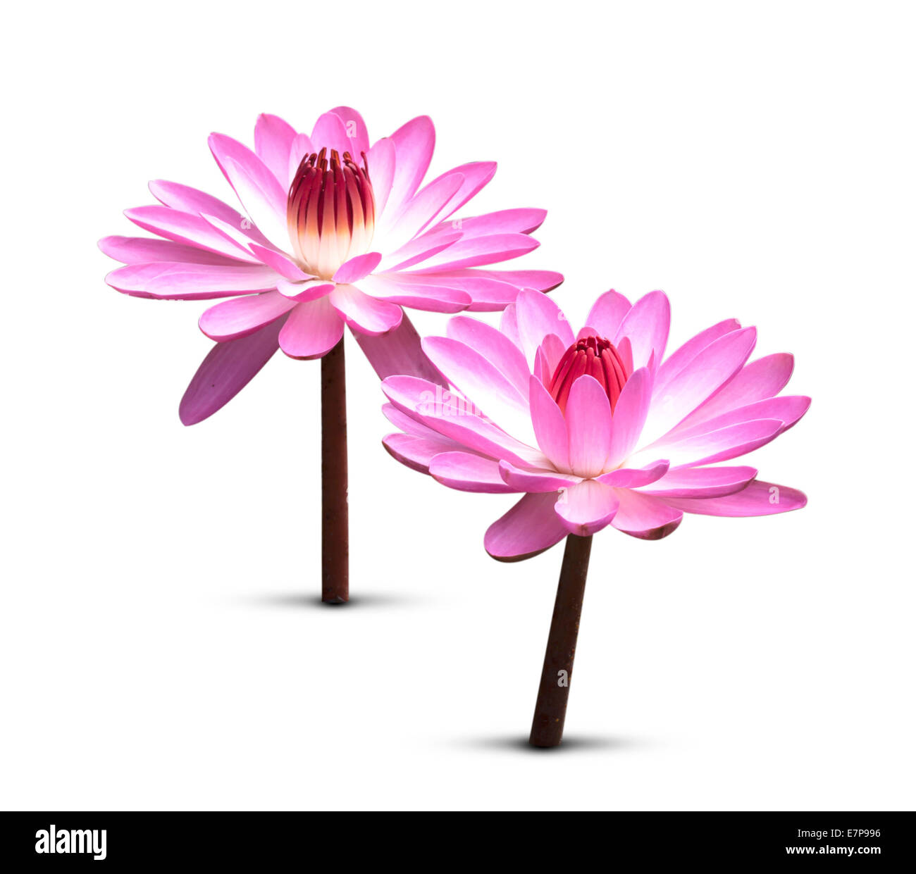 Blooming Lotus Flower Isolated On White Background Stock Photo