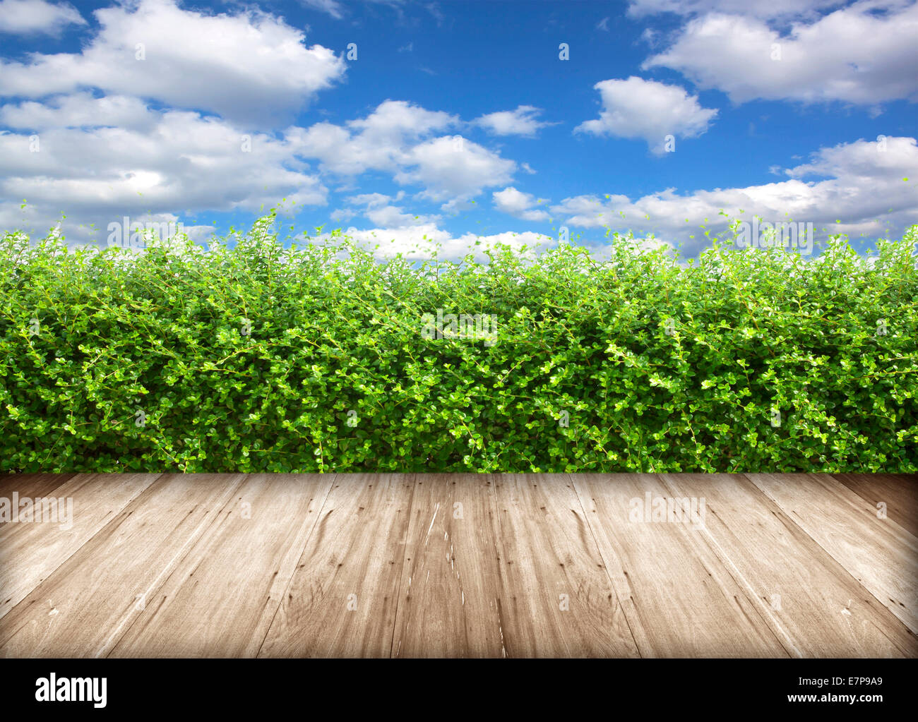 Bushes fence leaves green hardwood floors and sky. - Stock Image