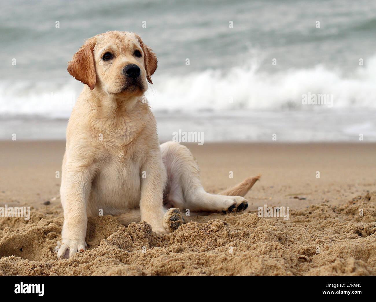 labrador puppy - Stock Image