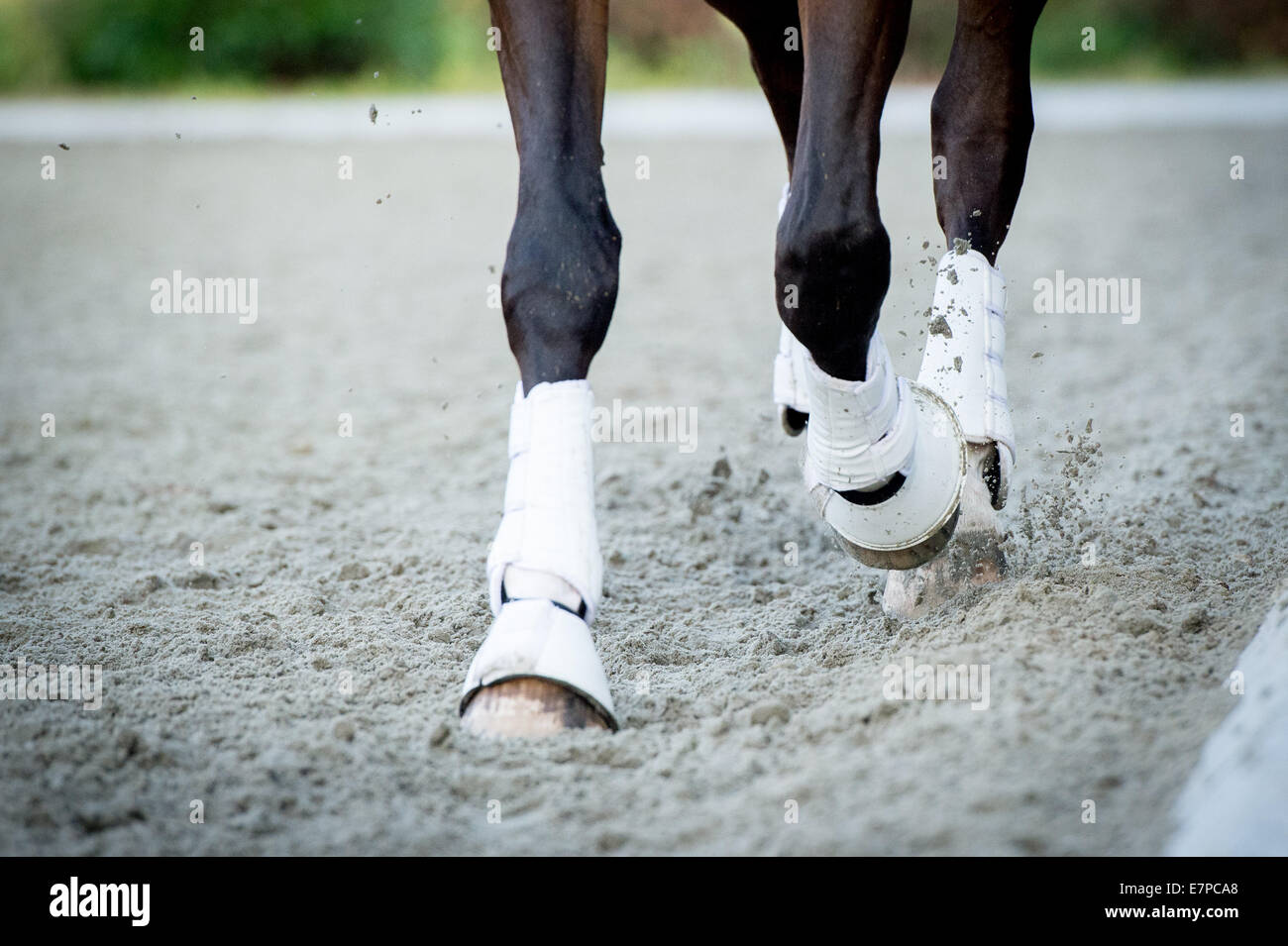 Closeup of the hooves from a horse while in trot on an outside track - Stock Image