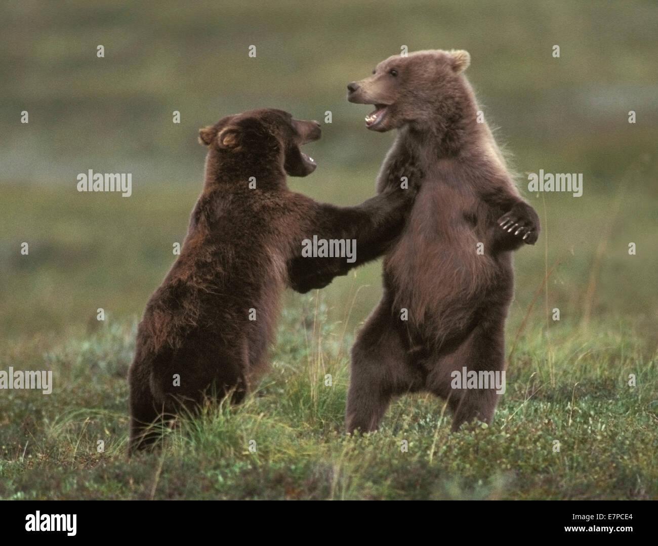 Grizzly Bear cubs at play in Denali National Park, Alaska. - Stock Image