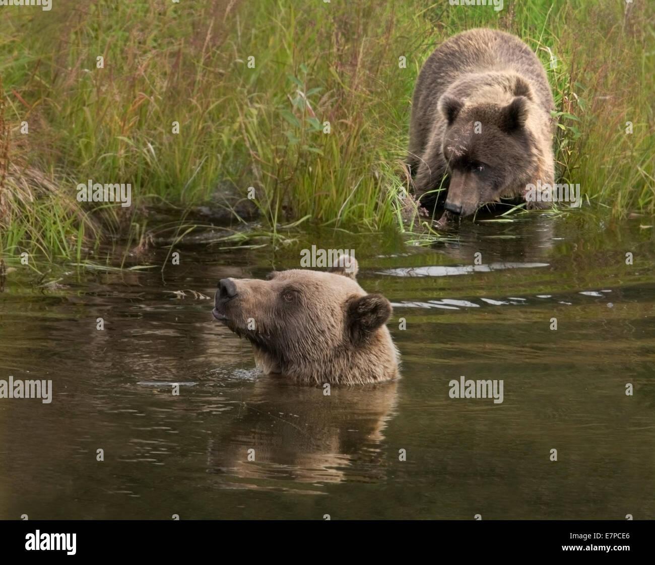 Grizzly Bear sow and yearling cub (Ursus arctos). Denali Nat'l Park, Alaska. - Stock Image