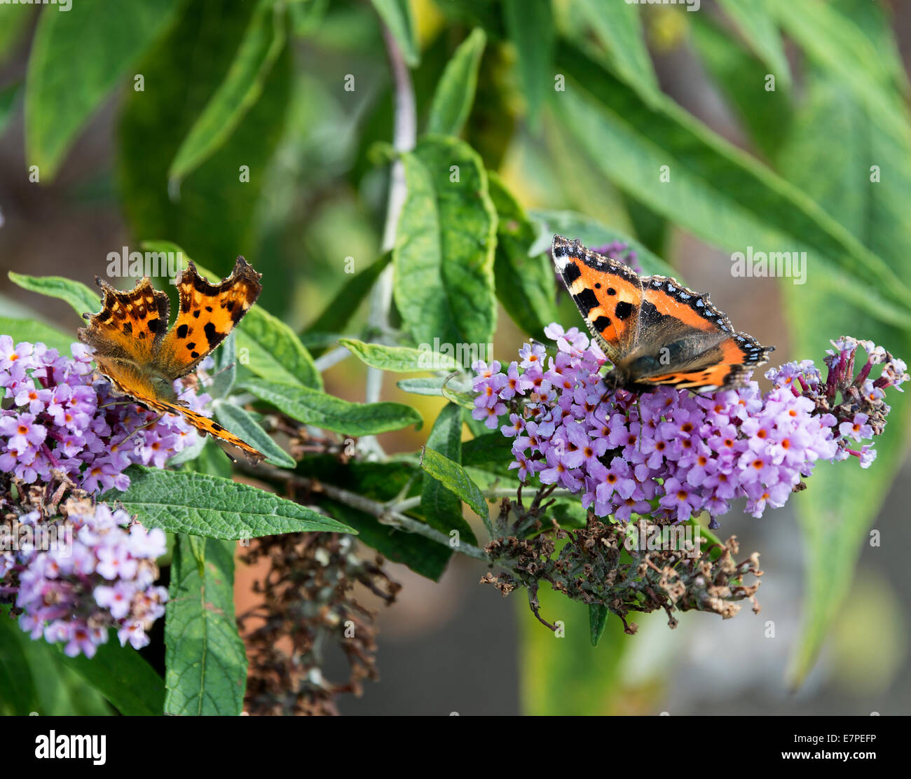 Solitary Comma and Small Tortoiseshell Butterfly Feeding on Nectar on a Purple Buddleja Flower in a Cheshire Garden - Stock Image