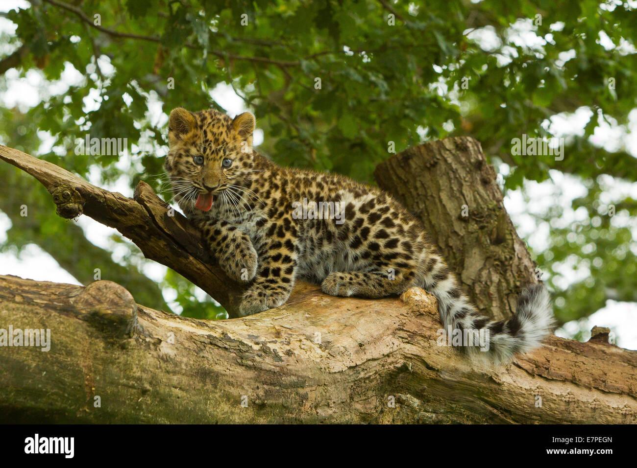 Extremely Rare Amur Leopard Cub (Panthera Pardus Orientalis) Climbing On Tree - Stock Image