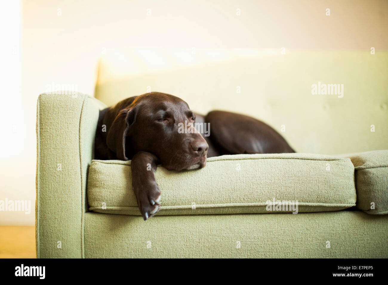 Chocolate Labrador resting on sofa - Stock Image