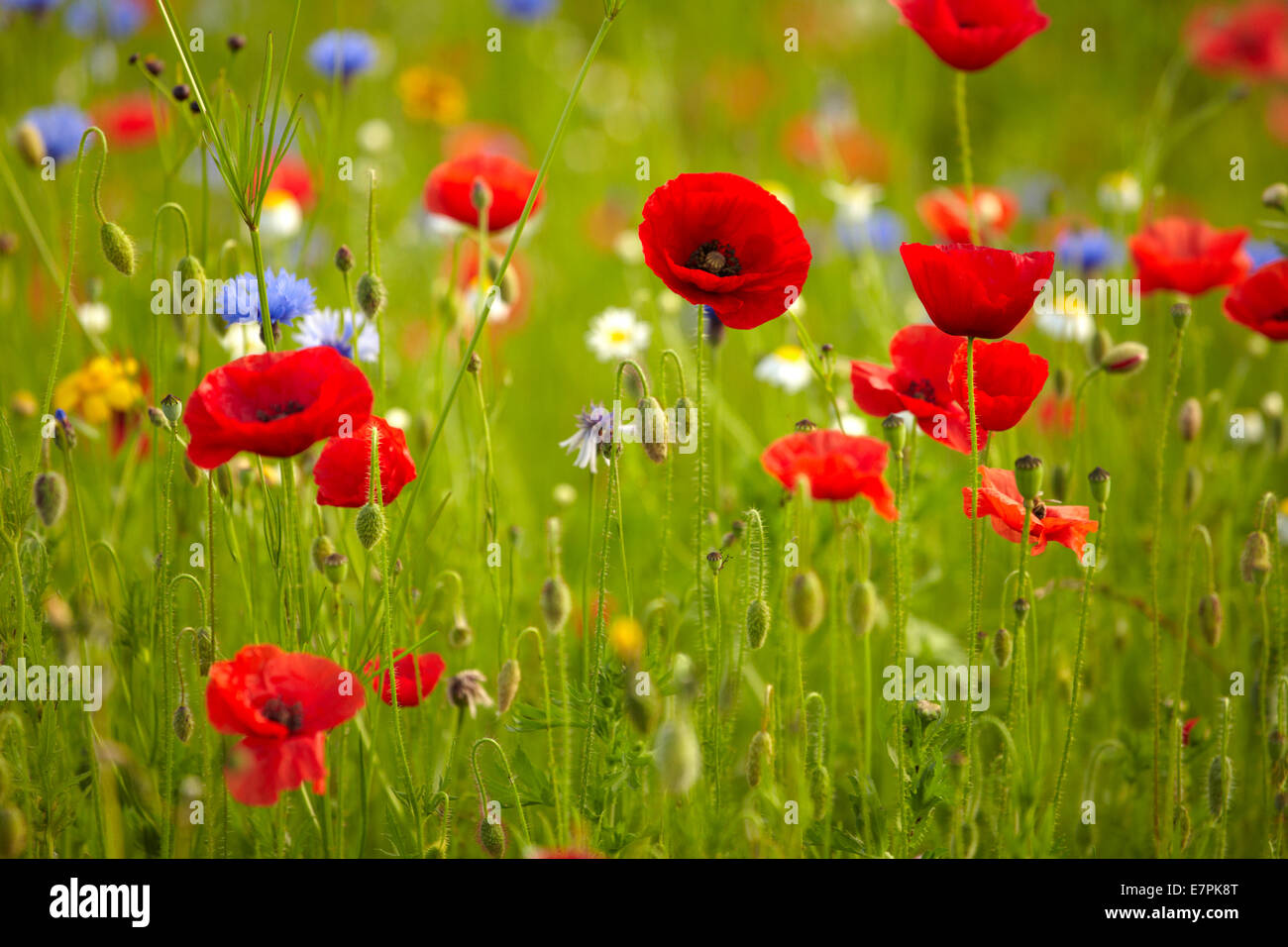 Poppies, cornflowers and other wild flowers. - Stock Image